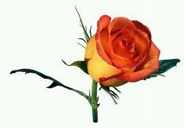 trandafir.jpg
